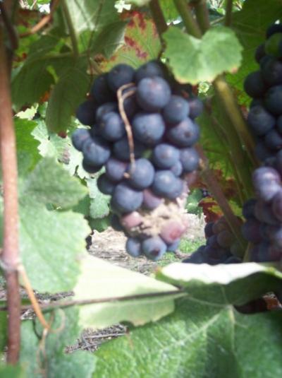 Foyer de pourriture grise sur grappe de Pinot Meunier