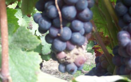 Foyer de pourriture grise<br>sur grappe de Pinot Meunier