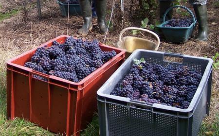 Vendanges de cépage Pinot Meunier