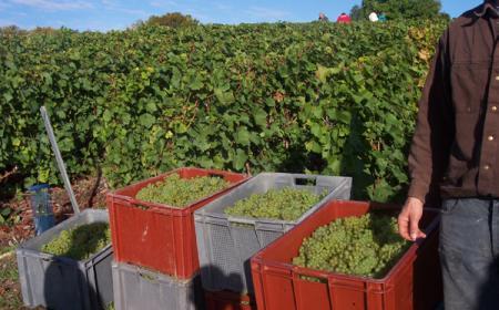 Caisses à vendanger de 50 kilos Cépage Chardonnay